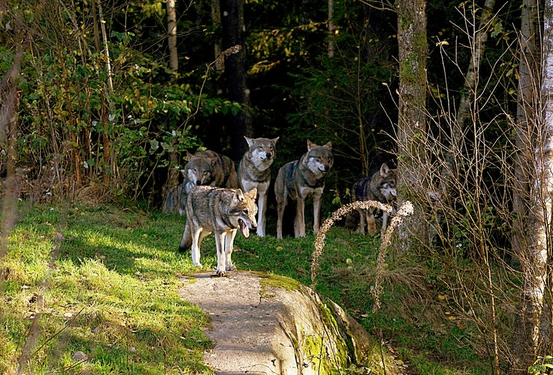 Wolfsrudel (Canis lupus) im Wald
